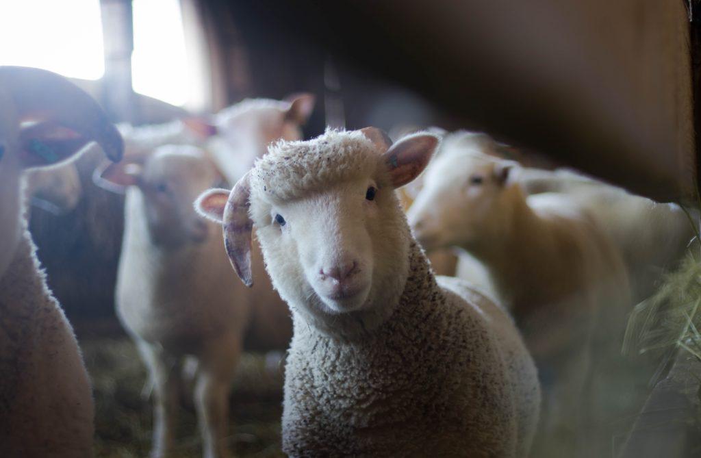 immagine di agnella in un articolo dedicato alla pricunta nel matrimonio in Gallura