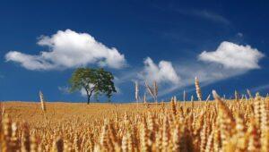 campo di grano nei racconti sardi